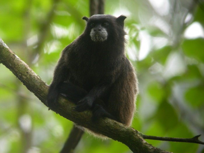 Sacha Lodge _black_mantled_tamarin