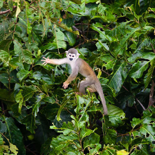 Sacha Lodge_Squirrel Monkey