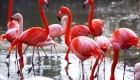 Pink Flamingo in zoo close up